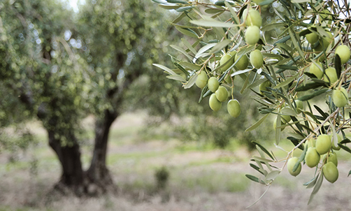 Figs Olives Grapes Dalmatia S Cherished Fruits In Fall